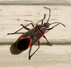 An adult boxelder bug.