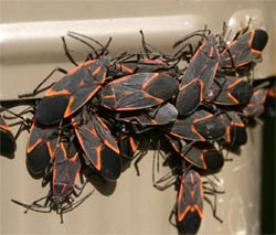 A cluster of boxelder bugs on a house.