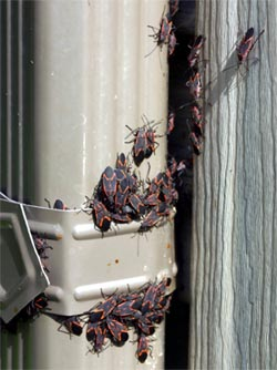 Boxelder bugs often congregate on sunny sides of buildings.