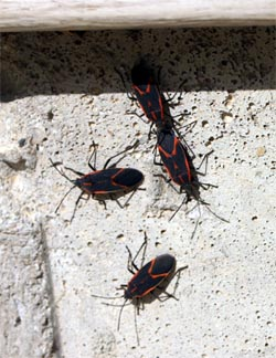 Boxelder bugs congregating on a house foundation.