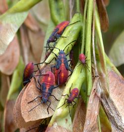 Boxelder bug nymphs feeding on boxelder seeds.