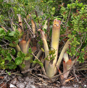 The terrestrial tank bromeliad Billbergia litoralis growing in restinga habitat on sand dunes near Salvador, Brazil.