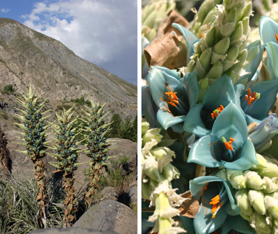 Flowering Puya berteroniana in habitat, near Lo Valdes, Chile (L) and its turquoise flowers (R).