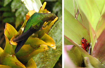 In nature bromeliads provide food and shelter for animals, such as this green brilliant hummingbird (L) and strawberry dart frog (R).