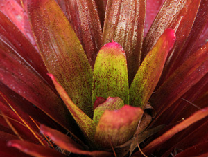 Tank bromeliads do best when watered with rainwater but will tolerate tap water.