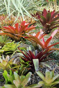 Bromeliads in the landscape at a private home in Costa Rica.