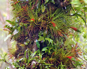 Many bromeliads are tropical epiphytes.