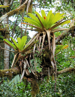 Tank bromeliads in a tree.