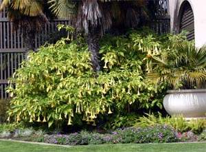A Brugmansia in full bloom at Balboa Park, San Diego.