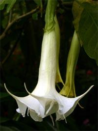 Brugmansia flower.