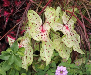 Choose companion plants that will complement the colors of the caladium yet have a textural contrast.