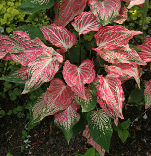 Caladium Thai Beauty.