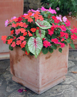 Combine caladiums with other shade-loving annuals in containers.