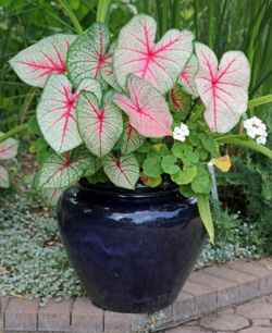 Caladiums are easily grown in containers.