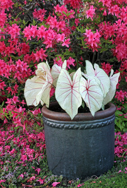 A pot of Fantasy caladium creates a dramatic statement in front of Rosy Lights azalea.