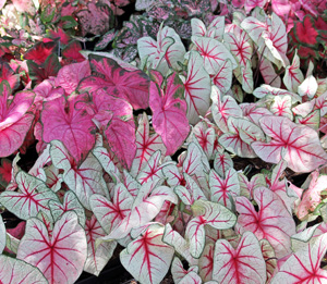 There are many cultivars of caladium available.