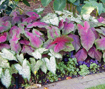 Caladium is often grown as a summer annual for the colorful foliage.