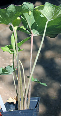 Leaves have long petioles arising directly from the bulb