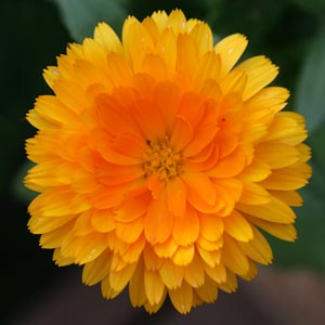 Calendula flowers or just the petals can be used for culinary purposes.