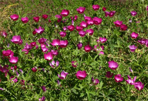 Callirhoe involucrata growing at the Denver Botanical Garden.