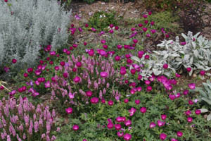 The magenta flowers of wine cups contrasts well with blue foliage of Artemesia and lambs ear (Stachys).