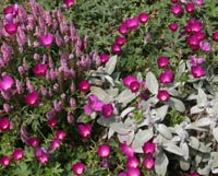 Winecups planted with pink Veronica and fuzzy-leaves lambs ear (Stachys).
