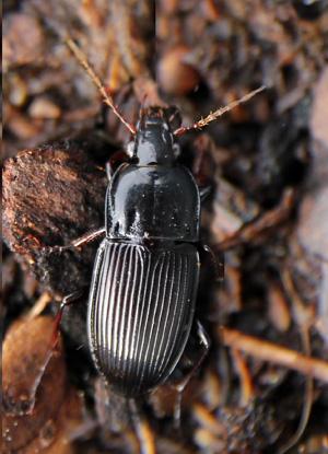 A common ground beetle, Pterostichus nigra.