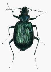 Calosoma wilcoxi.