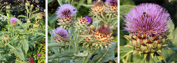 In the second growing season cardoon produces large, thistle-like inflorescences (L and C) with purple flowers (R).