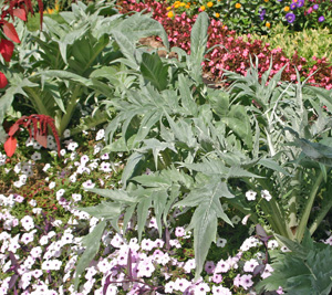 The spiny, silvery foliage of cardoon makes a dramatic statement in the garden.