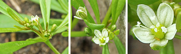 The tiny flowers are borne in clusters in the leaf axils (L and C) and have 5 white sepals, a few stamens and a central green ovary (R).
