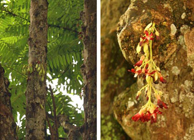 Averrhoa bilimbi with fruits on the trunk (L) and flower cluster (R).