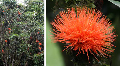 Brownea macrophylla and closeup of flower (R).