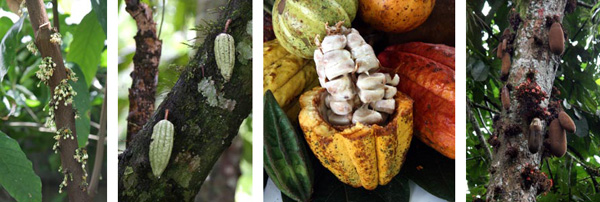 Flowers (L) and fruit (C) of cacao, Theobroma cacao, from which chocolate is made. R: The fruit and flowers of the related monkey cacao, T. simiarum.