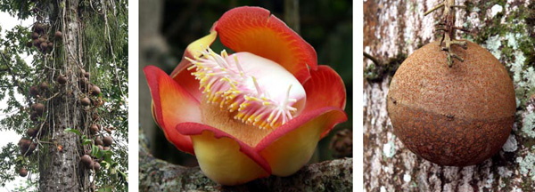 Cannonball tree, Couroupita guianensis, has spectacular flowers and impressive spherical fruit.