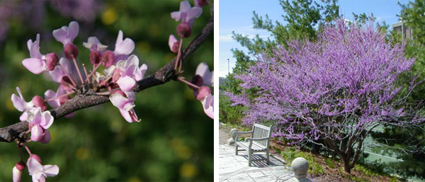 American redbud, Cercis canadensis, is one cauliflorous tree that occurs outside the tropics.