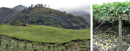 Commercial trellised chayote fields in Costa Rica.