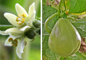 Chayote flowers (L) and fruit (R).
