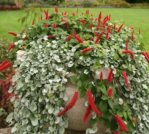 Chenille Plant Acalypha Hispida Master Gardener Program