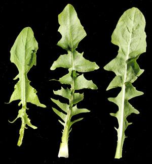 Chicory, Cichorium intybus – Master Gardener Program