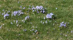 Chionodoxa can be naturalized in a lawn.
