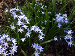 Chionodoxa forbesii blooming in spring.