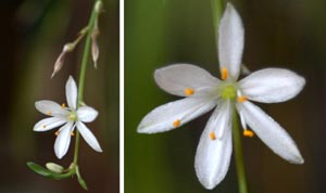 Spider plant produces small white flowers.