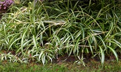 Spider plant can be grown as a ground cover outdoors in warmer climates.