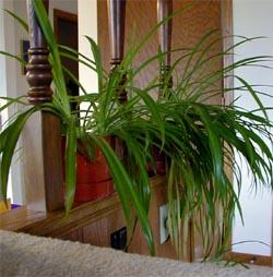 Spider plant helps clean indoor air.