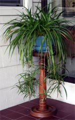 Spider plant is well suited to hanging containers.