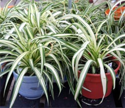 Spider plant, Chlorophytum comosum, is one of the most common houseplants.