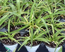 Spider plant is easy to propagate.
