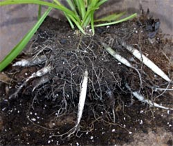 Thick, fleshy roots allow spider plant to tolerate inconsistent watering.