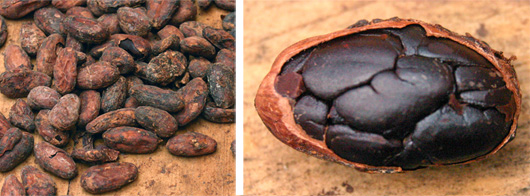 Roasted cocoa beans (L) and one seed with the hull partially removed (R).